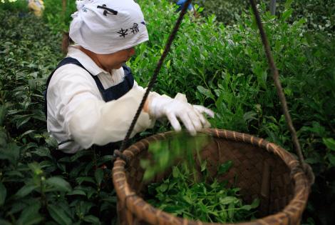 Pluck tea leaves
