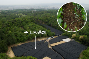 Tea plantation of mountain